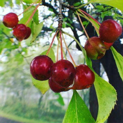 エゾノコリンゴ(果実)