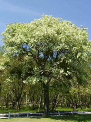 エゾノコリンゴ(花)
